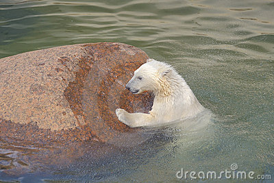 Polar bear struggles for his life