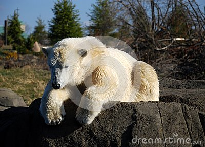 Polar Bear Sun bathing