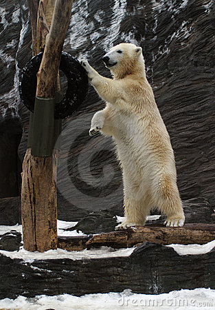 Free Polar Bear, Ursus Maritimus Royalty Free Stock Photo - 1546595