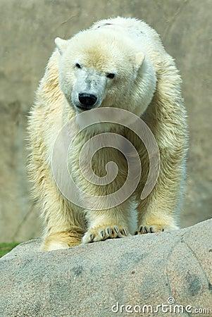 Free Polar Bear (Ursus Maritimus) Stock Images - 6782294