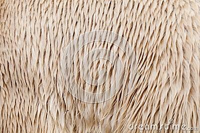 Polar bear (Ursus maritimus) fur