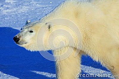 Polar Bear Walking on the Arctic Snow