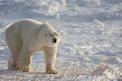 Polar Bear Walking on the Arctic Snow