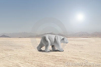 Polar bear walking in a desert
