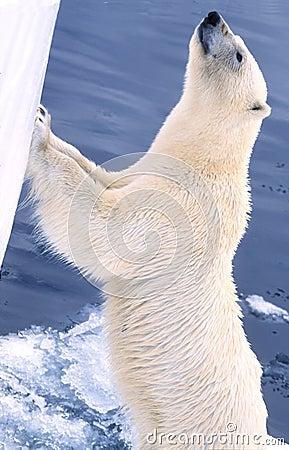 Free Polar Bear Wants In Royalty Free Stock Photo - 340545