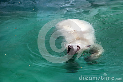 Polar bear in water