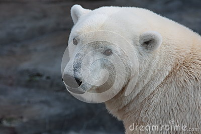 A polar bear in a ZOO.