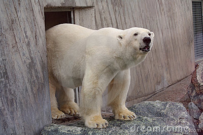 Polar bear in the zoo s pavilion