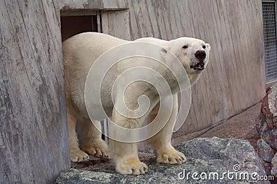Polar bear in the zoo s pavilion