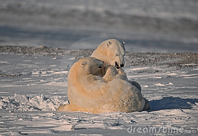 Polar bears in Canadian Arctic