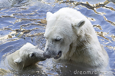 Polar bears greeting