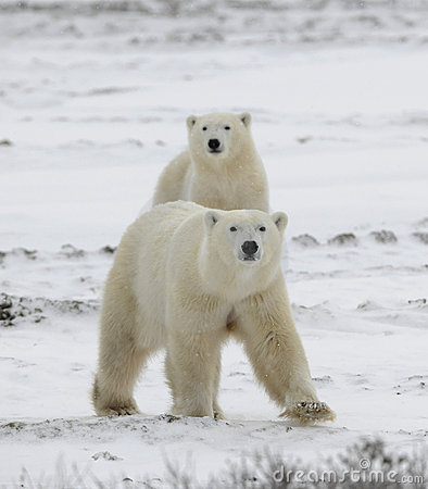 Free Polar Bears Have Become Interested. Royalty Free Stock Photography - 17155547