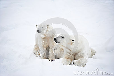 Couple of Polar bears