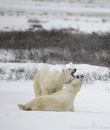 Polar bears play.