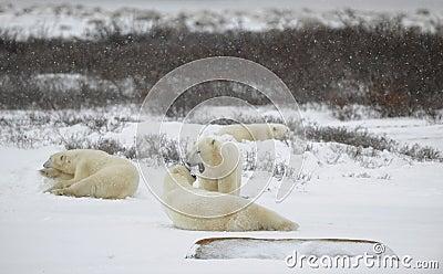 Polar bears relax