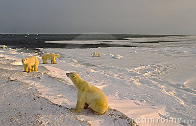 Polar bears on shore of Hudson s Bay