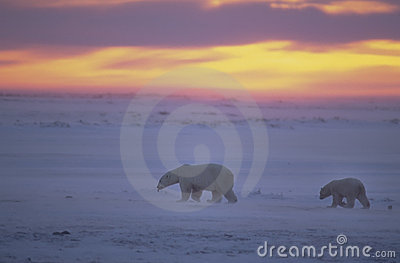 Polar bears at sunset in Canadian Arctic