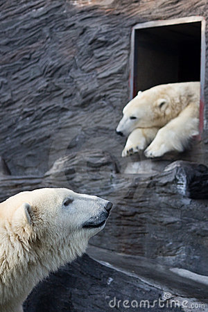 Polar bears at zoo