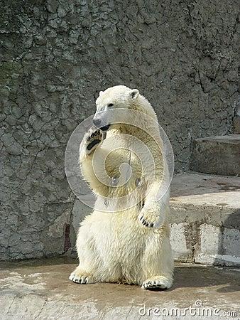 Free Polar She-bear Stock Photo - 1793020