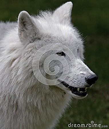 Polar wolf 7