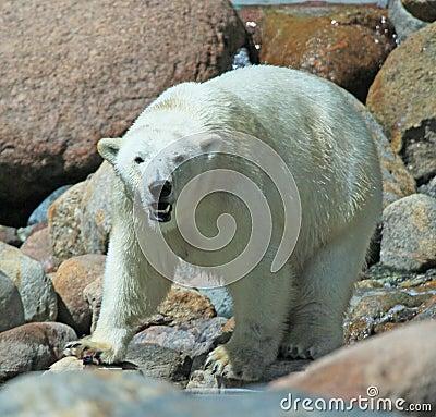 Free Polarbear Stock Photography - 10418972