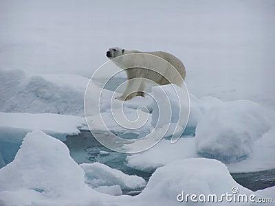 Polarbear Hunting Seal Royalty Free Stock Ima