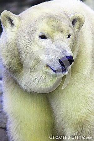 Free Polarbear Royalty Free Stock Image - 6970576