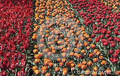 Pole tulipany