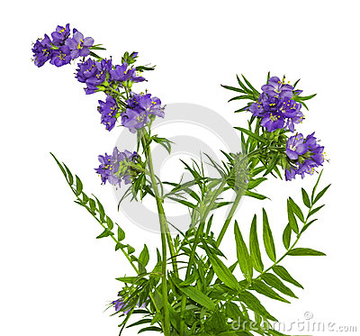 Free Polemonium, Jacob S Ladder Stock Images - 25026604