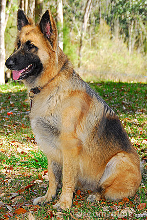 Police dog on alert