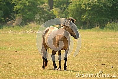 Polish Konik horse