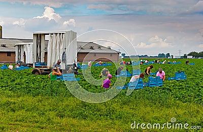 Polish seasonal workers picking strawberries Editorial Photography