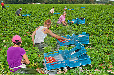 Polish seasonal workers picking strawberries Editorial Stock Image
