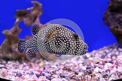 Polkadot fish