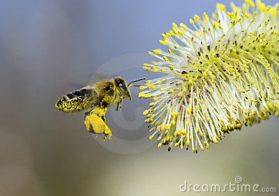 Pollen Covered Bee
