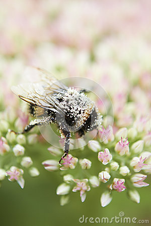 Free Pollen Covered Bee On Sedum Flower Head Stock Photography - 26686102