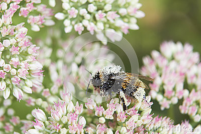 Pollen Covered Bee On Sedum Flower Head