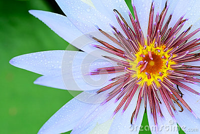 Pollen of lily