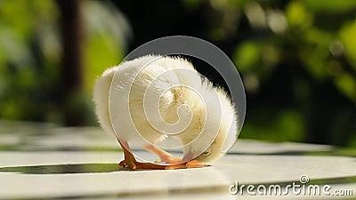 Pollo de relleno-para arriba almacen de video