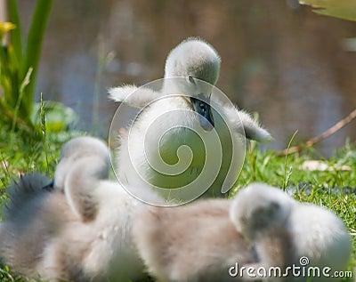 Pollo del cisne lindo