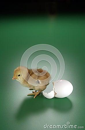 Pollo y huevo