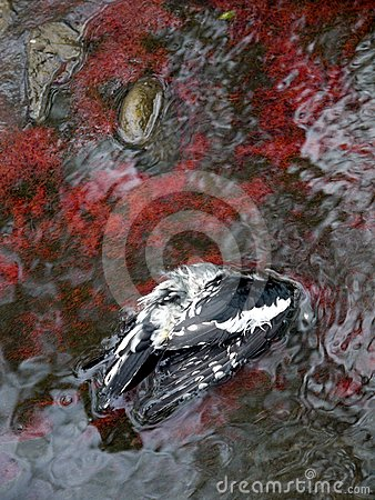 Polluted water: red algae and dead bird