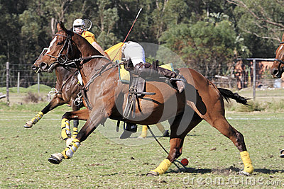 Polocrosse Player picking up the ball at a gallop Editorial Photography
