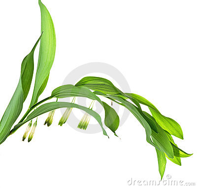 Polygonatum officinale All, Solomon s seal