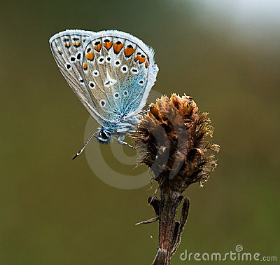Free Polyommatus Icarus Butterfly In Warm Light Stock Image - 11178441