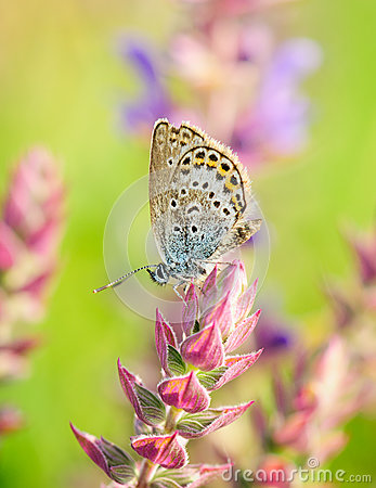 Free Polyommatus Icarus, Common Blue, Is A Butterfly In The Family Lycaenidae. Beautiful Butterfly Sitting On Flower. Royalty Free Stock Photography - 76843357