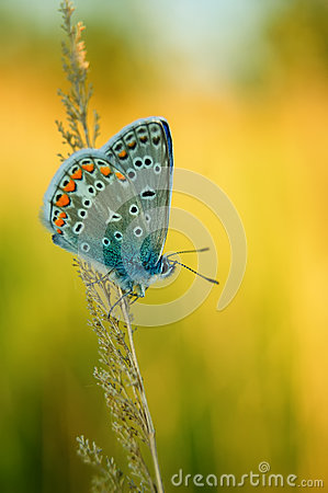 Free Polyommatus Icarus, Common Blue, Is A Butterfly In The Family Lycaenidae. Beautiful Butterfly Sitting On Flower. Stock Image - 77125261