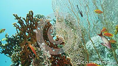 Polypes coralliens douces sur le récif corallien Elfin Ston capture le plancton, mer Rouge, Égypte banque de vidéos