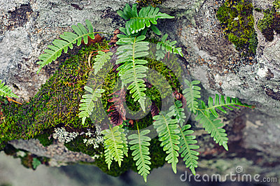 Polypodium vulgare- top view