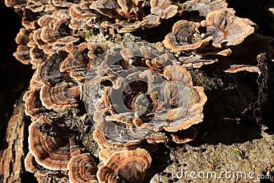 Polypore mushroom